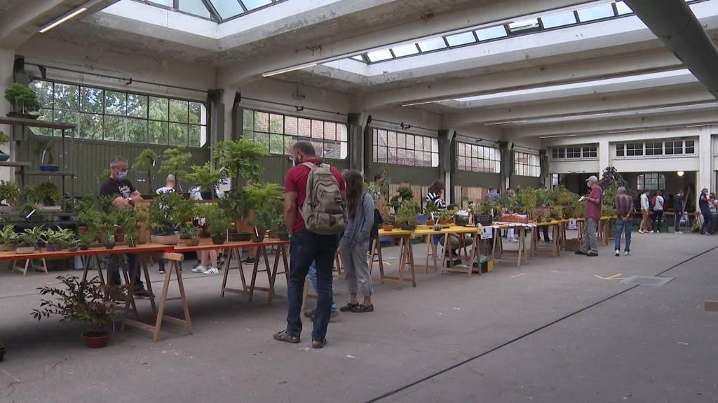Bonsaibörse: In Langenthal stellen Züchter ihre Bonsaibäume zum Verkauf aus