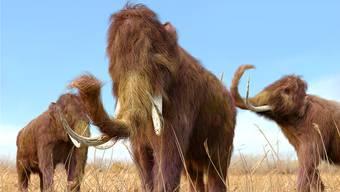 Noch kein vertrauter Anblick. Aber die DNA des Mammuts könnte man sich neu zusammensetzen mit CRISPR/Cas.