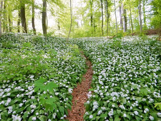 Viele Bärlauchblüten wie Schneebälle im Grünen. (Anmerkung: Die Bildunterschriften haben die Leserinnen und Leser zu ihren Fotos mitgeliefert)