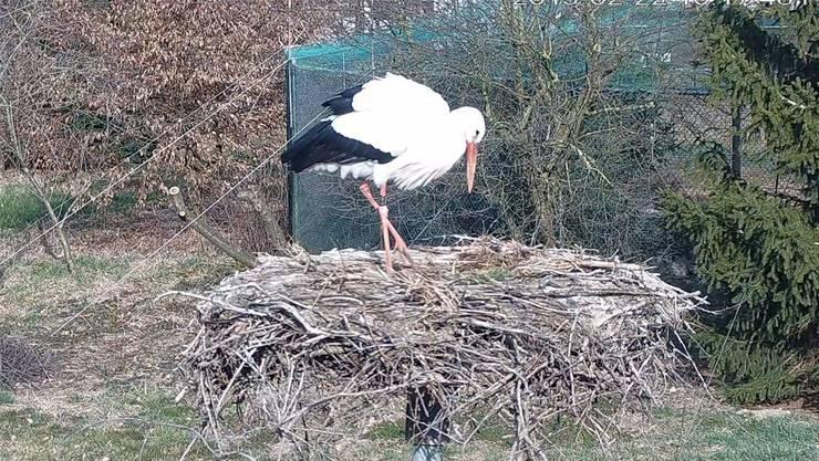 Ein Storch der Möhliner Storchenstation.