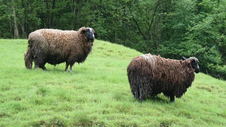Die Idylle trügt: Bei diesen Schafen wurde die jährlich vorgeschriebene Wollschur nicht durchgeführt. Die übermässig dicke Wolle und die Verschmutzung schränken ihr Wohlbefinden deutlich ein.