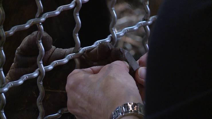Ganz schön menschenähnlich: Angela Widmer feilt Schimpansen-Nägel.