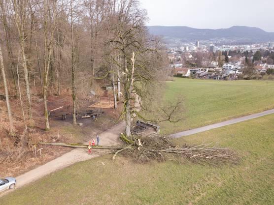 In Aarau wurde die für die Stadt wichtige Echolinde von einem umgestürzten Baum stark in Mitleidenschaft gezogen.