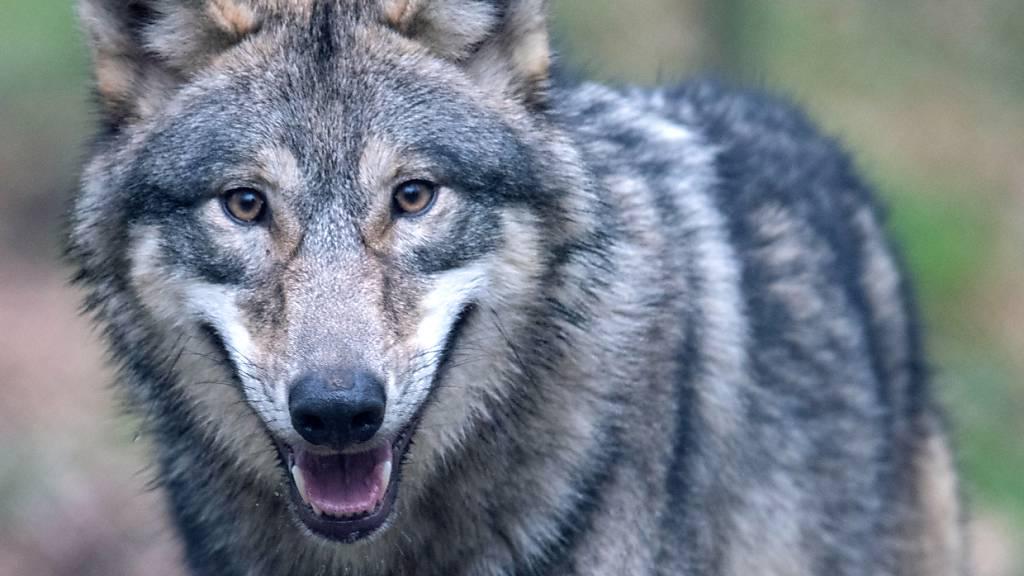 In Elm hat ein Wolf ein Lamm gerissen. (Symbolbild)