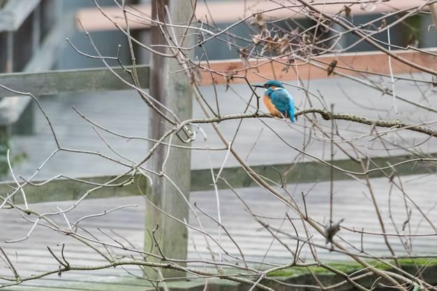 Eisvögel wurden als bedrohte Art eingestuft.