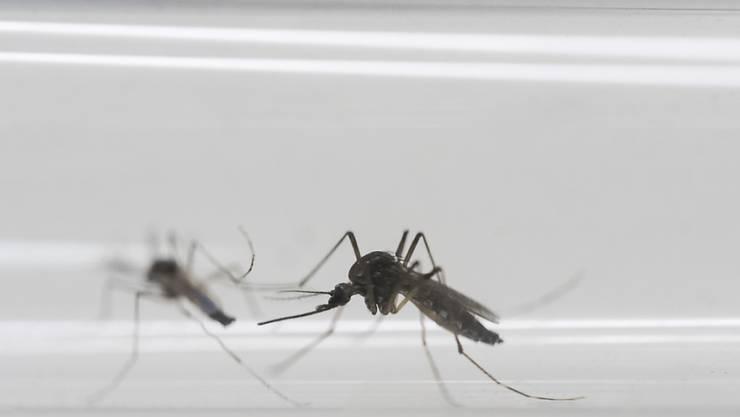 Wegen des nassen Junis herrscht eine der schlimmsten Mückenplagen der vergangenen 30 Jahren. (Archiv)