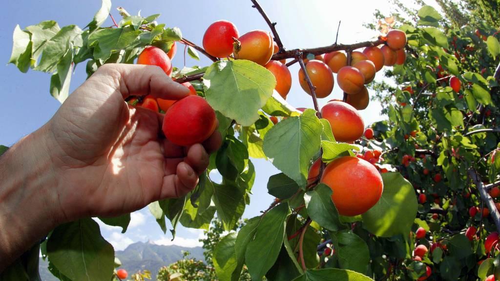 Die Schweizer Aprikosen-Ernte beginnt – fast alle Früchte stammen aus dem Wallis