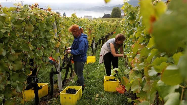 Die Weinernte – im Bild das Weingut der Bürgergemeinde Solothurn in Le Landeron – ist bei den Solothurner Winzern gut bis sehr gut ausgefallen.