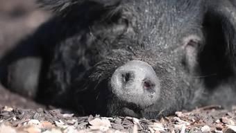 Zwei Schwarze Alpschweine haben im Natur- und Tierparks Goldau ihr Revier bezogen. Die Allesfresser teilen sich ihre Anlage zusammen mit den Hausschweinen.