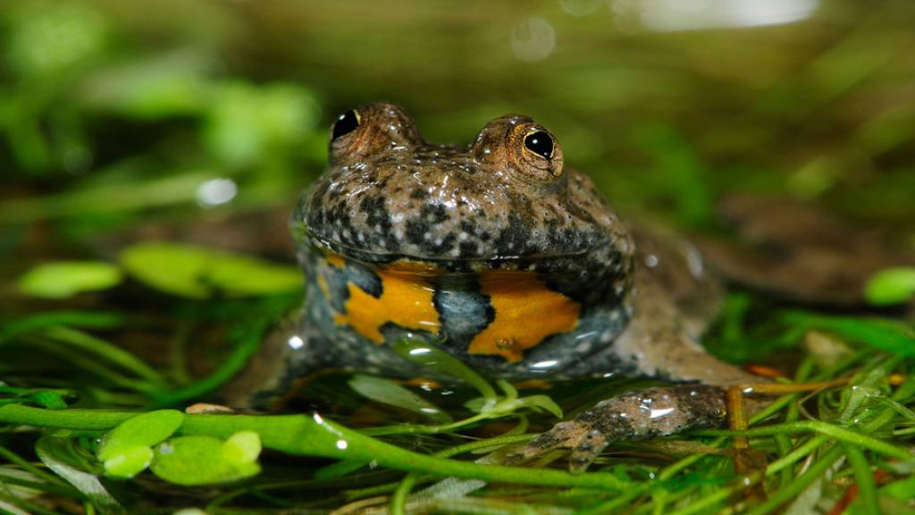 Pro Natura hat Biotope für gefährdete Gelbbauchunken angelegt