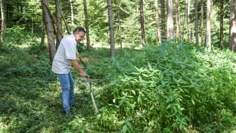 René Rüegg säubert ein Geltwiler Waldstück vom Indischen Springkraut, das man auch «Bauern-Orchidee» nennt.