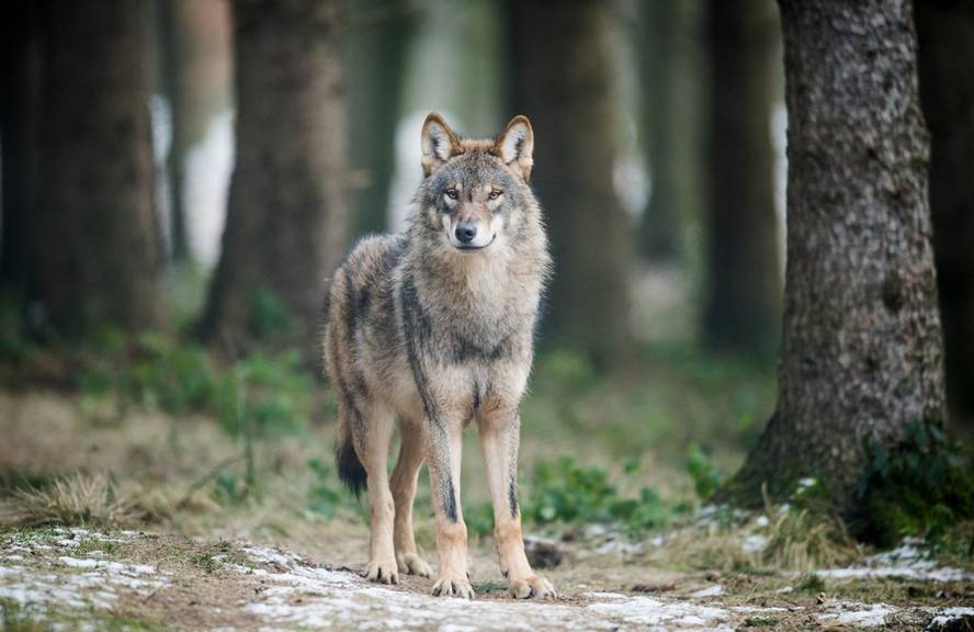 Der Wolf wird immer mutiger.