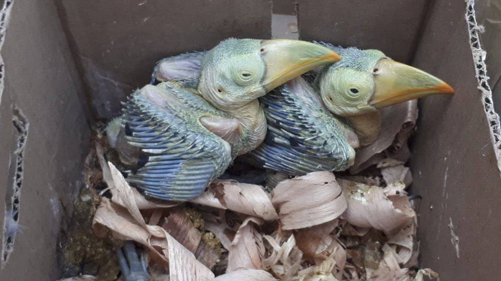 Bei weltweit koordinierten Aktionen gegen den Wildschmuggel wurden im Mai über 31'000 Tiere sichergestellt, darunter diese beiden Jungvögel in Mexiko.