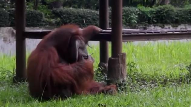 Mit Zigarette im Gehege! Paffender Orang Utan sorgt gerade für einen Zoo-Skandal