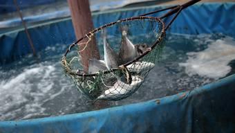 Die unbekannten Täter fischten aus einem vollen Zuchtbecken rund 700 Kilogramm Fisch. (Symbolbild)