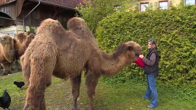 Best of «tierisch»: Nachwuchs-Tierpfleger / Kamel Altersheim