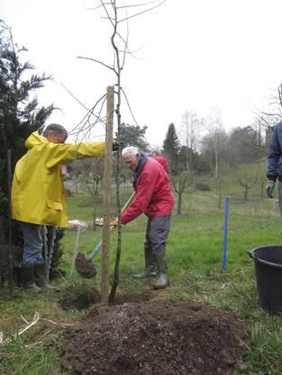 Der zurückgetretene Co-Präsident Helmut Nowack pflanzt eine Wettinger Holzbirne, die ihm der Verein an der GV geschenkt hat.