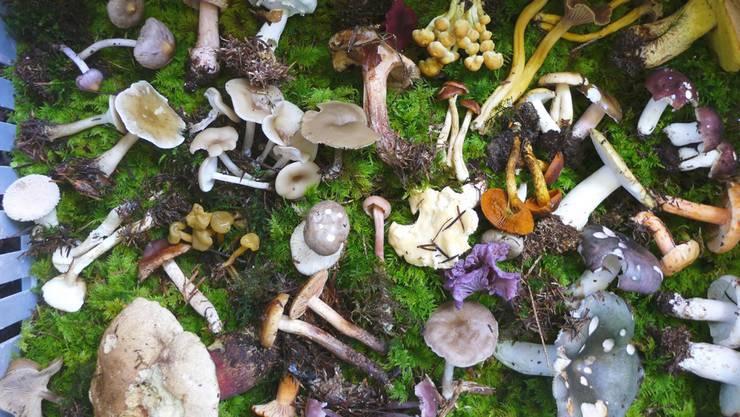 Die Pilzsaison 2014 fing früh an, die Pilze blieben aber eher klein.
