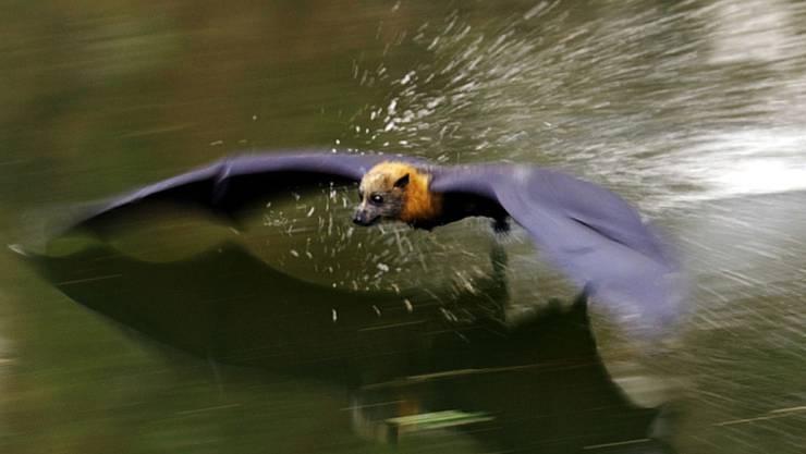 Ein Australischer Graukopf-Flughund sucht im Tiefflug Kühlung an der Wasseroberfläche. Er ist wie seine Artgenossen ein Vielflieger und Nomade, der pro Jahr mehrere 1000 Kilometer zurücklegt auf dem Weg zu üb 100 Schlafplätzen. (Archivbild)