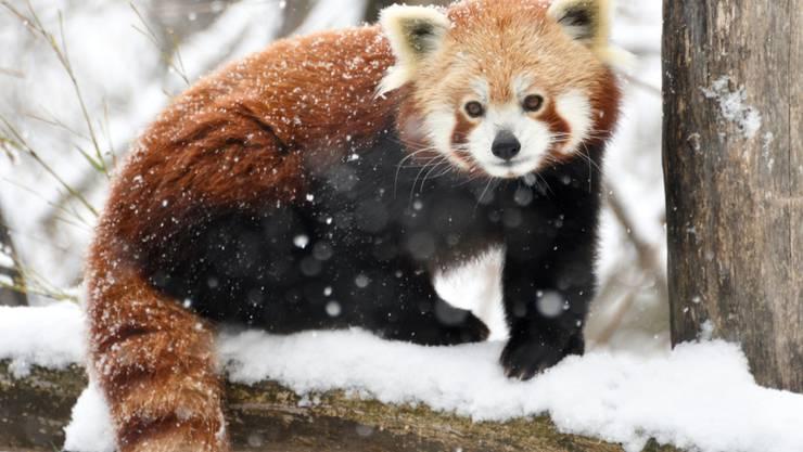 Rote Pandas, auch Kleine Pandas genannt, können gut klettern und halten sich nach Angaben des Zoos tagsüber oft in Bäumen auf. (Archivbild)