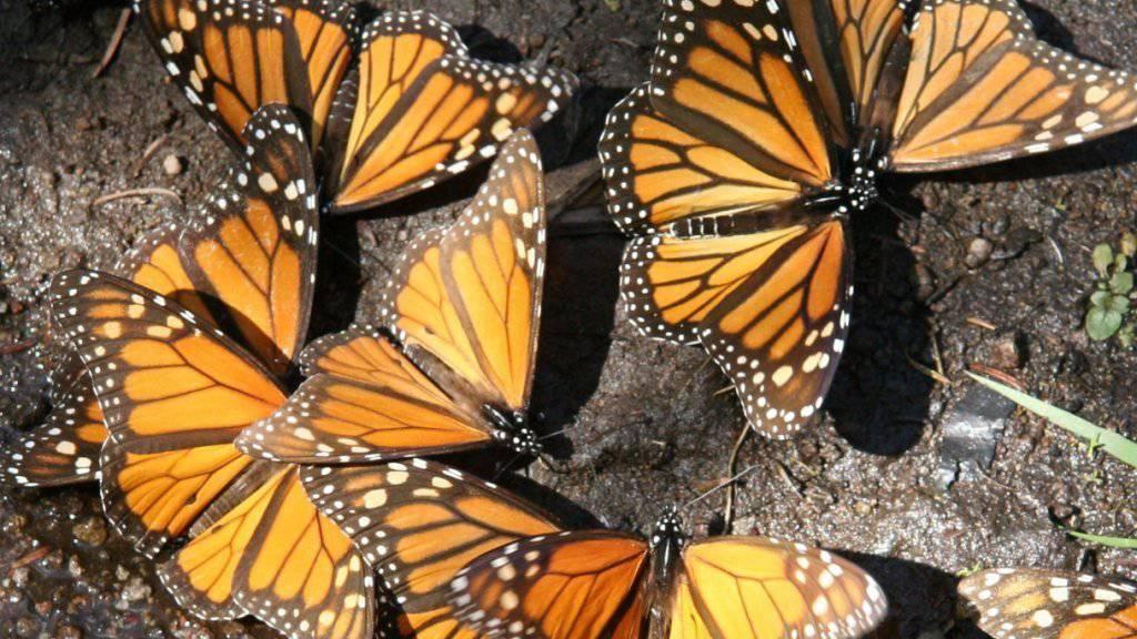 Die Umweltstiftung WWF meldet nach mehreren schlechten Jahren wieder etwas grössere Bestände an Monarchfaltern in Mexiko. Das sei aber dem Zufall geschuldet und kein Grund zur Entwarnung, so der WWF. (Archiv)