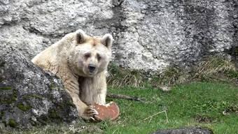 Mmmh, gefrorene Weizentorte mit Rüebli und Honig: Fränzi verdrückt ihren Bären-Geburtstagskuchen mit jugendlichem Elan.