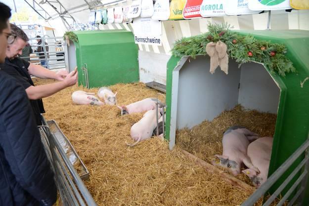 Die Rennschweine sind auch schlafend eine Olma-Attraktion.