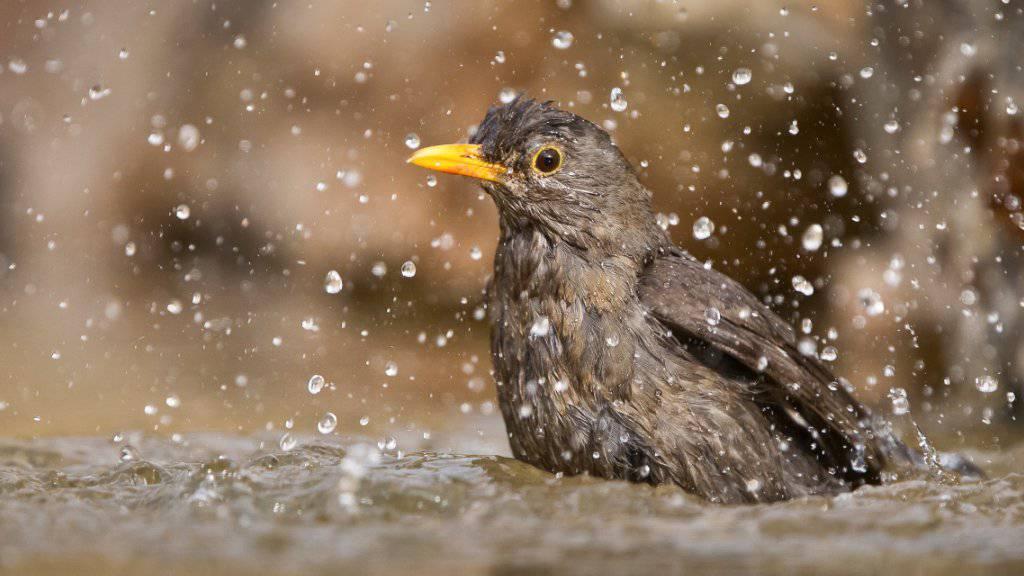 Vögel vertragen die Hitze in der Regel gut. Trotzdem kühlen auch sie sich gerne in einem Bad ab.
