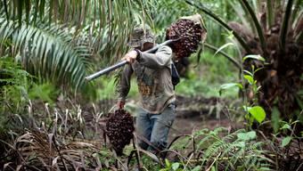 Lukrativer Anbau: Arbeiter auf einer Palmöl-Plantage in Guatemala.