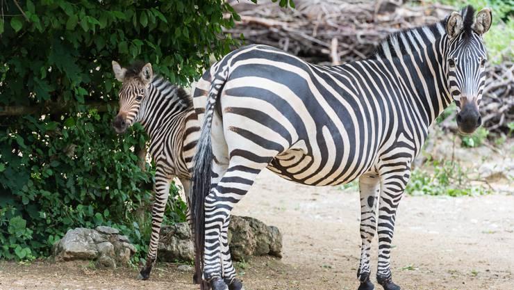In der Nacht auf den 4. Juni ist im Zoo Basel das Zebrafohlen Panja zur Welt gekommen.