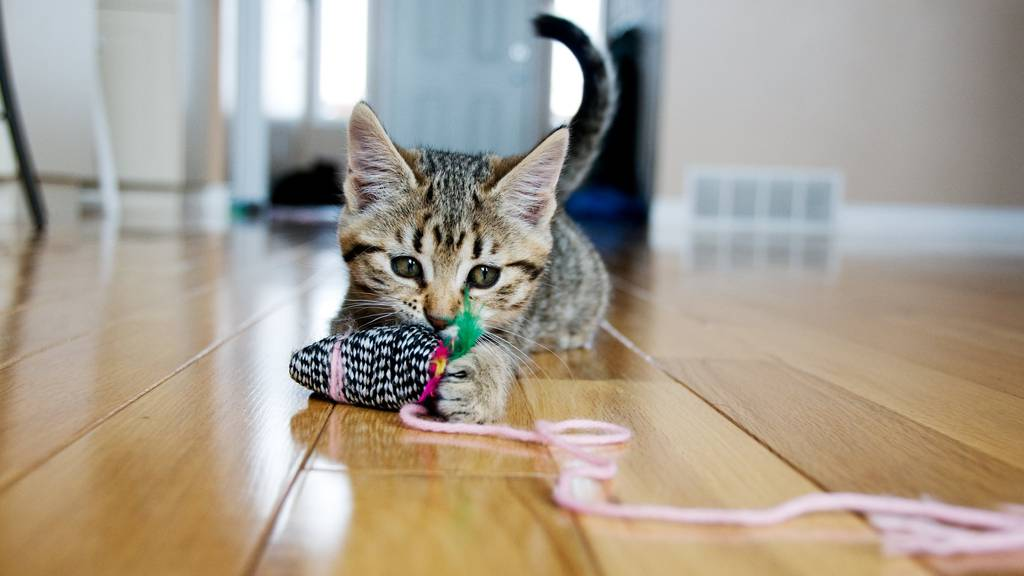 Darum sind Katzen die beliebtesten Haustiere