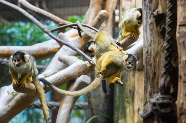 Das Männchen und die acht Weibchen befinden sich auf der Durchreise in einen anderen Zoo.