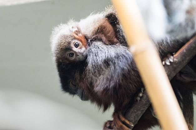 Die Äffchen sind in Zoos sehr selten.