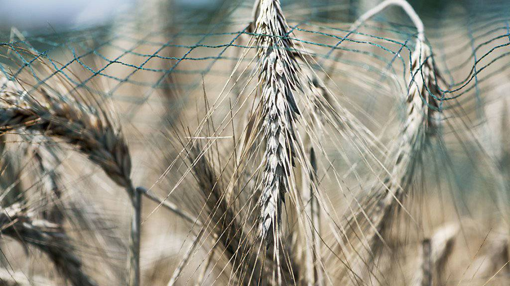 Versuch mit Gentech-Weizen bewilligt