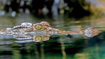 Das Philippinen-Krokodil gehört zu den am meisten vom Aussterben bedrohten Krokodile der Welt. Der Bestand wird auf 92 bis 137 Tiere geschätzt.