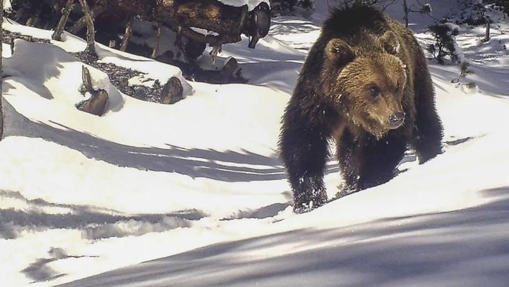 Erst im Mai streifte im Unterengadin ein Bär durch den Nationalpark und tappte in eine Fotofalle (Bild), nun riss einer zwei Schafe in einem Seitental bei Scuol. (Archivbild)