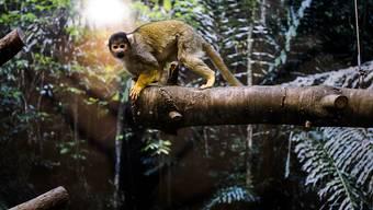 Ein Totenkopfäffchen entdeckt sein neues Gehege im Zoo von Servion VD.