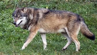 Der Wolf bleibt wohl auch bei einem Nein zum Jagdgesetz auf der politischen Agenda.