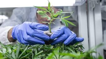 Trotz einer Ausnahmebewilligung des Bundesamtes für Gesundheit für das Arzneimittel Cannabisöl muss eine Solothurnerin zur verkehrsmedizinischen Untersuchung. (Symbolbild)