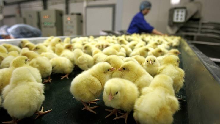 Rund 500000 männliche Küken werden pro Jahr in der Schweiz kurz nach ihrer Geburt getötet.