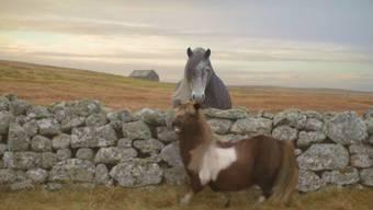 «Socks», das moonwalkende Shetland-Pony