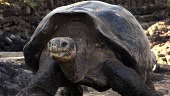 Langsam essen, langsam bewegen: So wird man über 100 Jahre alt wie diese Galapagos-Schildkröte.