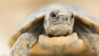 Seltenes Ereignis: Spaltenschildkröten sind im Zolli geschlüpft