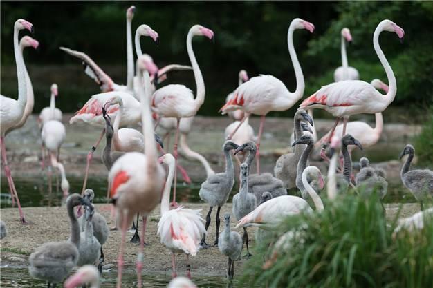 Wie jeden Sommer waren auch dieses Mal unzählige Rosa-Flamingoküken zu beobachten. Vor 55 Jahren schlüpfte hier der erste Chilenische Flamingo in einem europäischen Zoo. Im Jahr darauf folgten ihm zwei Rosa-Flamingos als Weltpremiere. Seither hat sich die Flamingozucht im Basler Zoo etabliert.