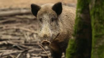 Einen Schaden von rund 71 000 Franken richteten Wildschweine im Laufe des Jahres 2017 im Bezirk Rheinfelden an. Im Bezirk Laufenburg betrug der Schaden rund 80 000 Franken.