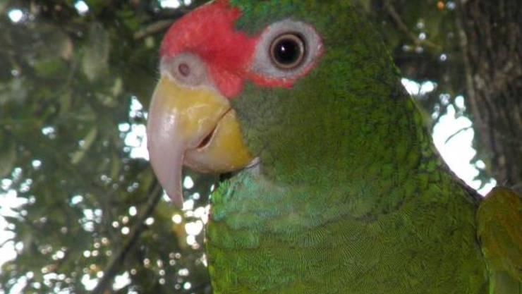 Ein Männchen der neu entdeckten Papageienart.