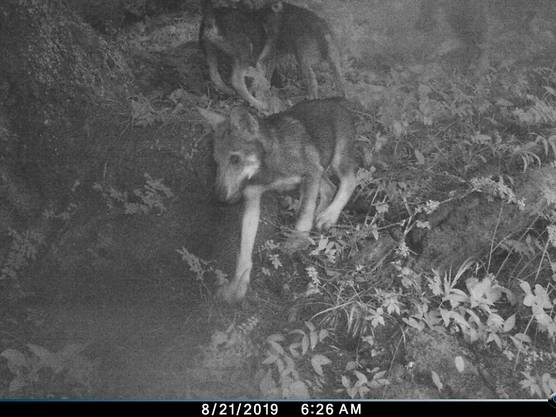 Sieben Wolfswelpen in Begleitung eines männlichen Wolfes hat die Kamera festgehalten.