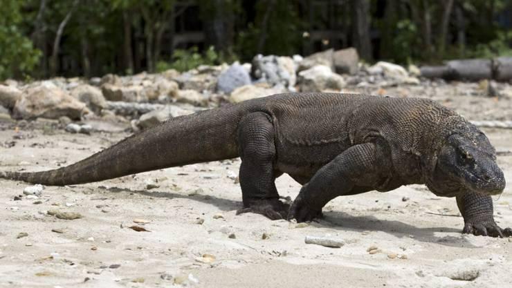 Ein Komodo-Waran am Strand der gleichnamigen indonesischen Insel (Archiv)