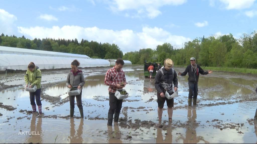 Zweiter Reisanbau-Versuch im Aargau