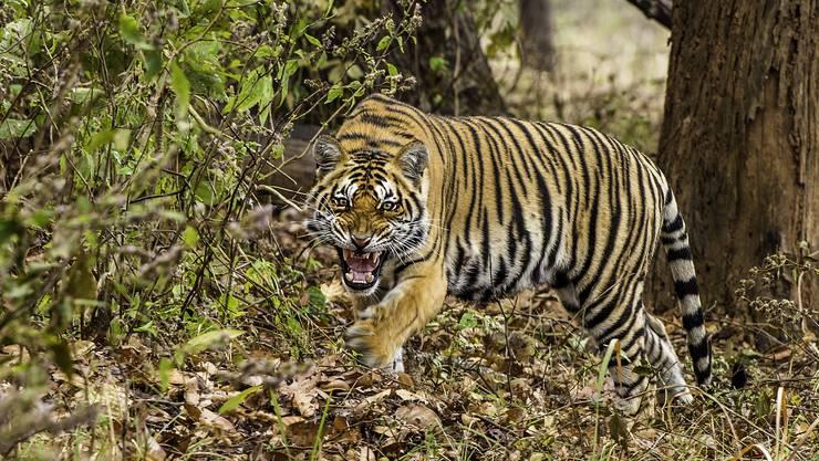 Diesen Tiger fotografierte Reinhard Strickler im Kanha-Nationalpark in Indien.